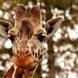 In 'billion to one' tragedy Lightning kills 2 giraffes at same Florida wildlife park